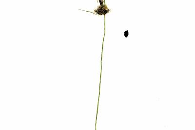 ILYA DOLGOV (b. 1984) Scirpus Maritimus From the Herbarium series, 2014 Acrylic, pen, pencil on paper 40 х 30 cm © HLAM Gallery